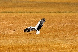 stork-in-the-field