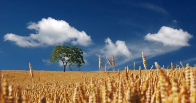 summer_field-of-wheat