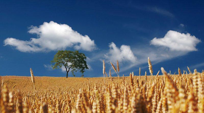 summer_field-of-wheat