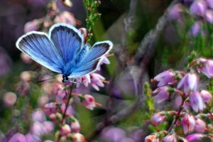 butterfly-on-heather