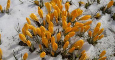 zolte-krokusy-w-sniegu